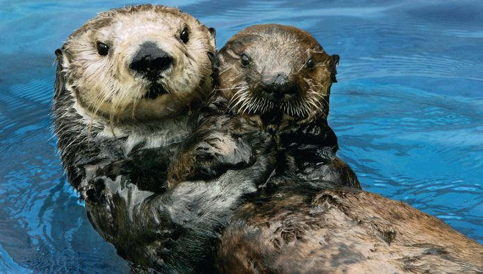 Study Confirms Monterey Bay Aquarium Surrogate-Reared Sea Otters Helped Restore Threatened Population in Coastal Estuary